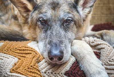 canine-cognitive-dysfunction