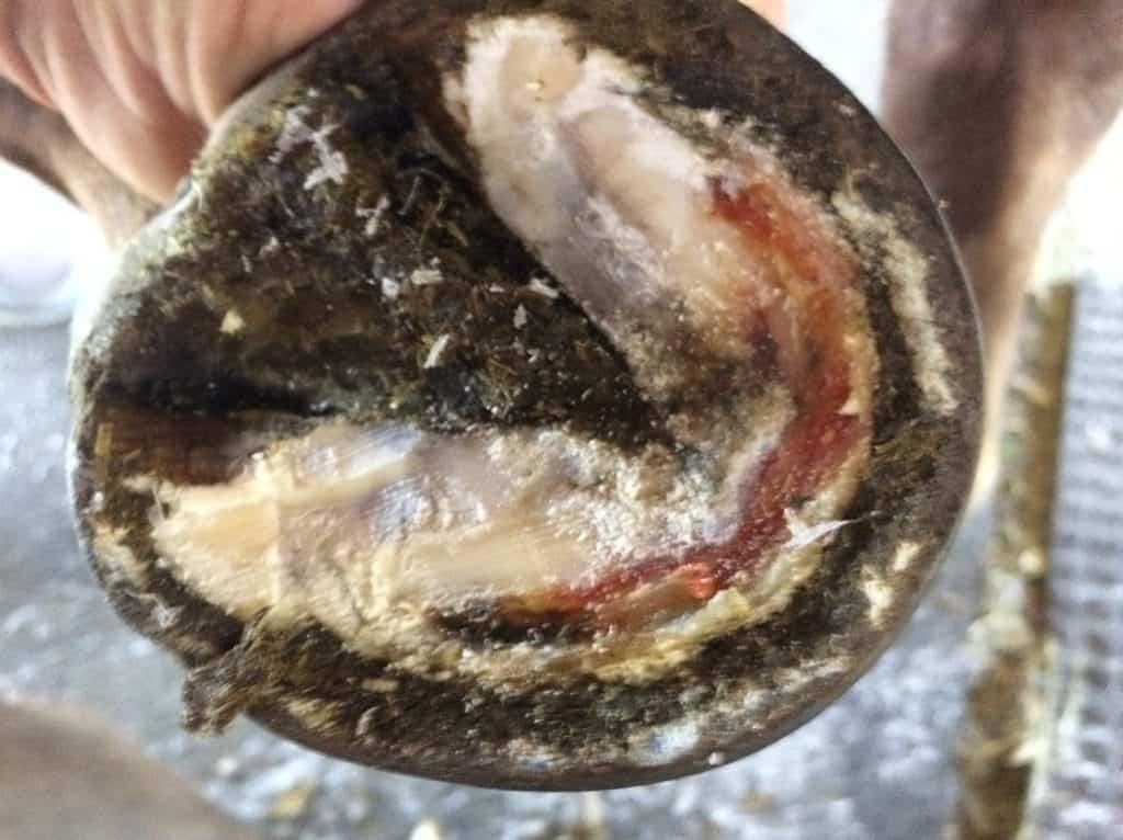 laminitis causes severe bruising of the hoof sole