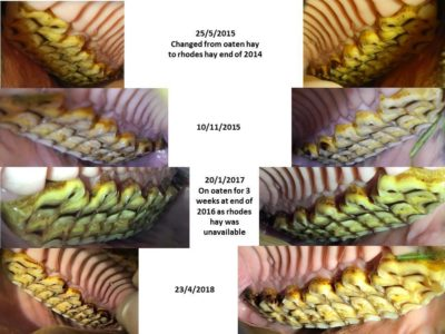 Dental caries horse timeline of improvement after diet change