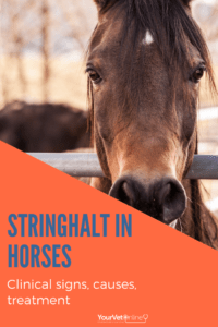 causes clinical signs and treatment of stringhalt in horses