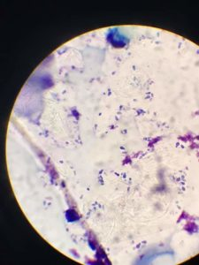 cytology slide of dog ear infection
