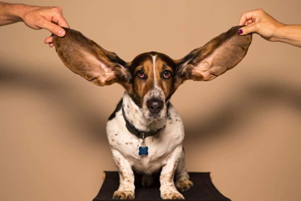 dogs with pendulous ears suffer from ear infections