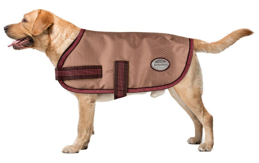 Labrador in weatherbeeta dog coat
