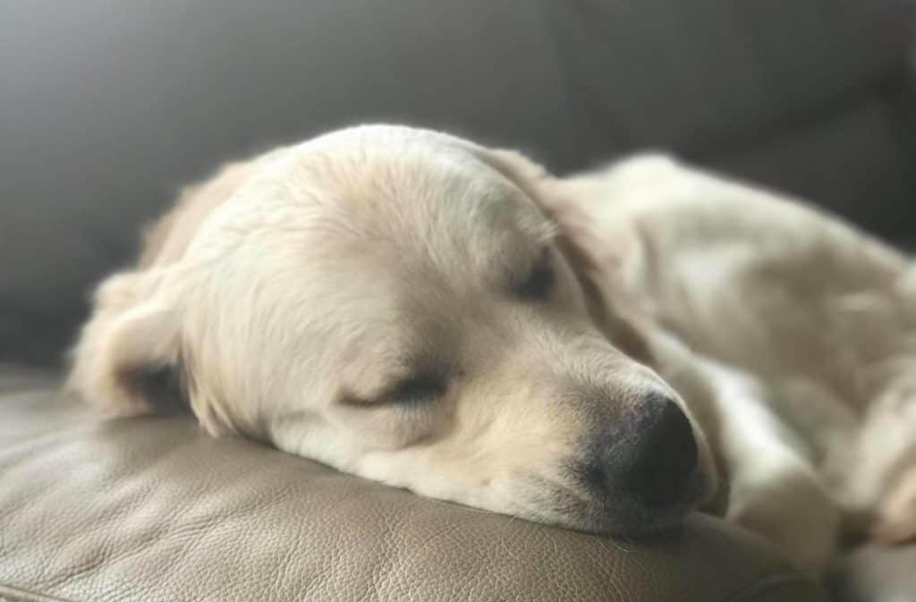golden retriever asleep on couch