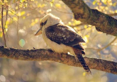 australian kookaburra on branch