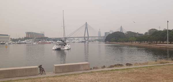 dog looking out in smoke haze at Anzac Bridge Sydney