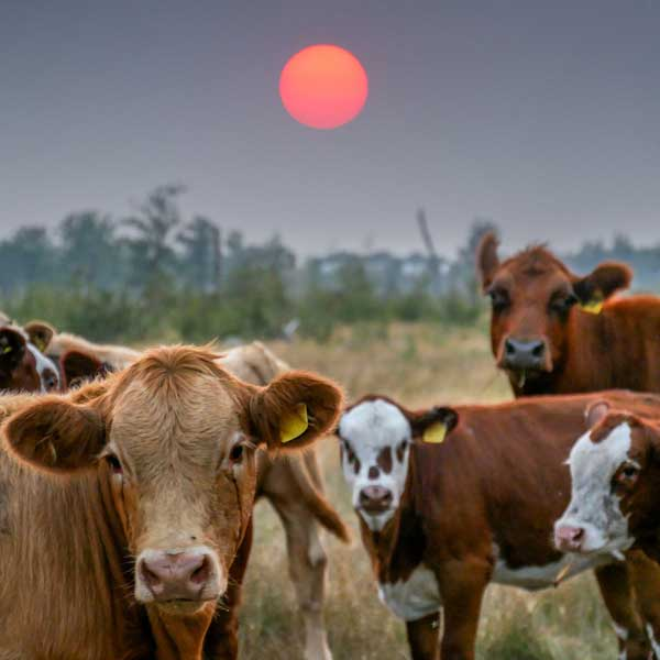 cows in smoke pollution