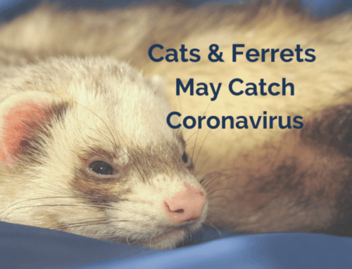 Coronavirus Covid 19 in Cats and Ferrets