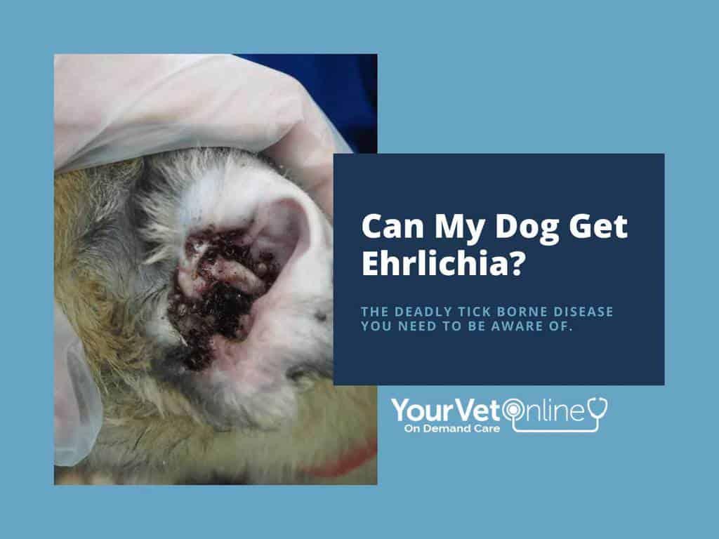 dog ear with brown ticks can my dog get ehrlichia