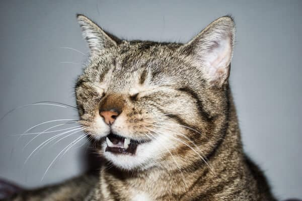tabby cat with eyes closed sneezing