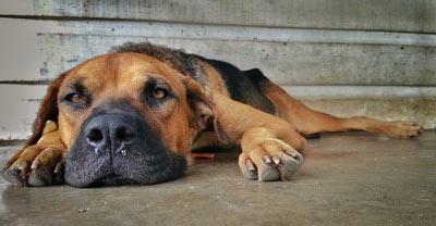 Собака, лежащая на земле, выглядит больной - признак и симптом отравления у собак
