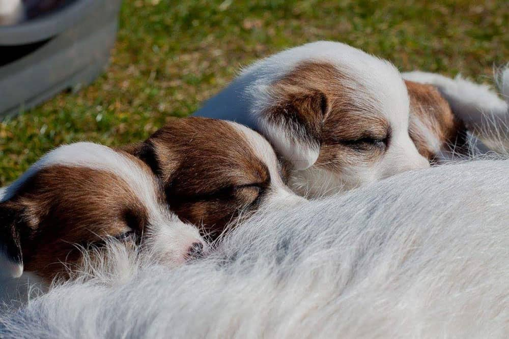 jack russell terrier pups suckling on a bitch