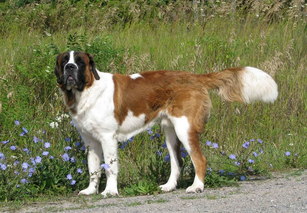 saint bernard dogs do not show any increase in risk in developing cancer or musculoskeletal disorders if desexed at 6months.