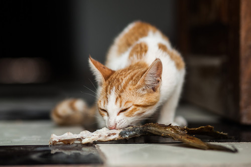 can i feed my cat tuna? what are the dangerous and how can i feed tuna safely